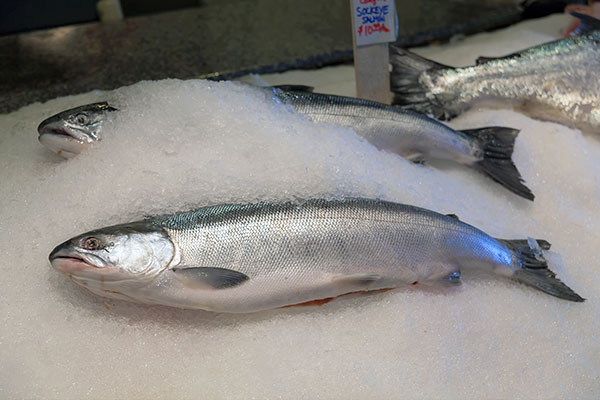 wild vs. farmed salmon: sockeye salmon