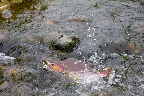 pink humpback salmon: wild vs farmed salmon